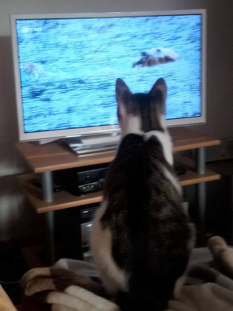 Kater Finlay schaut fern
