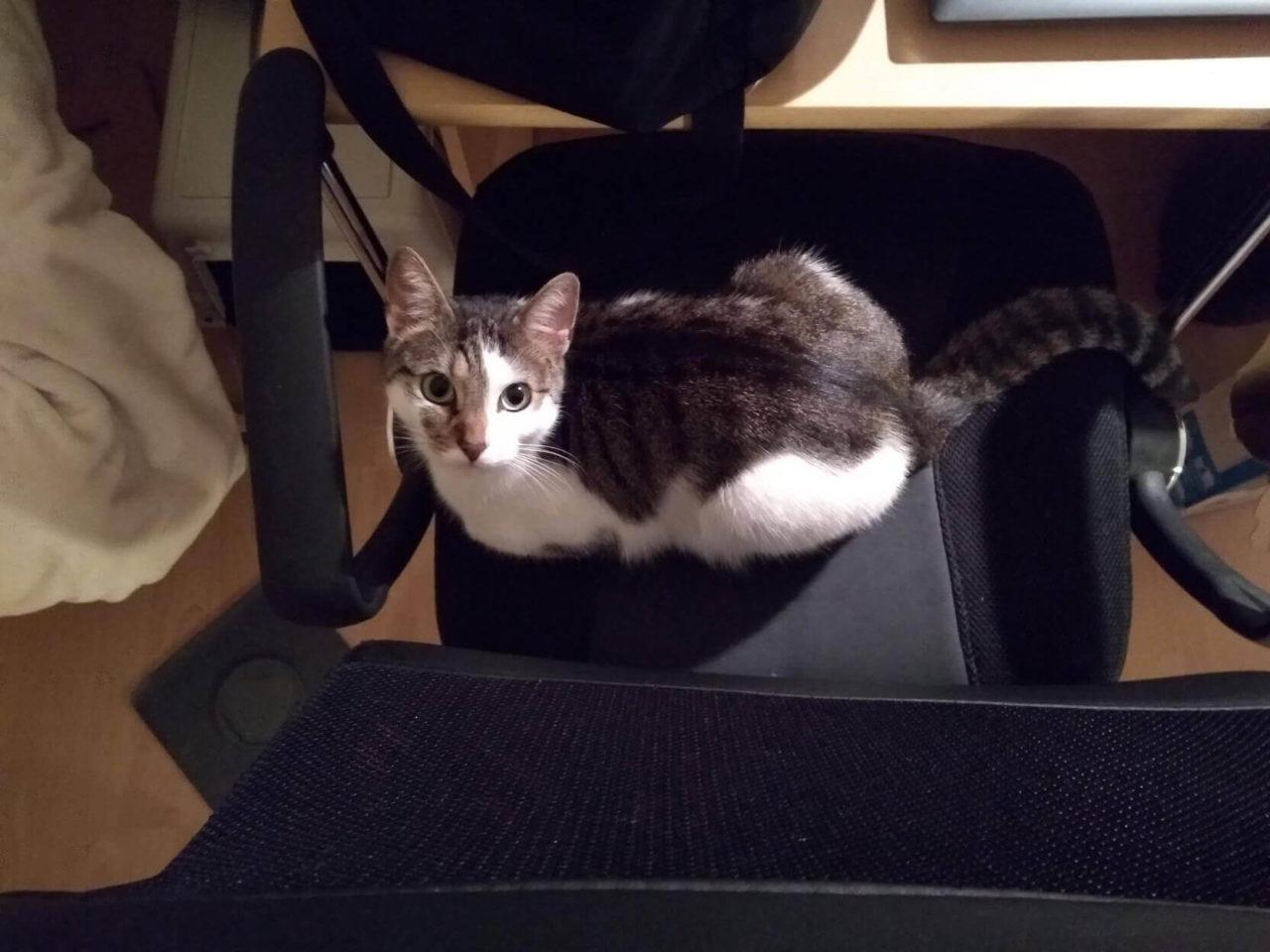 Kater Finlay auf dem Bürostuhl